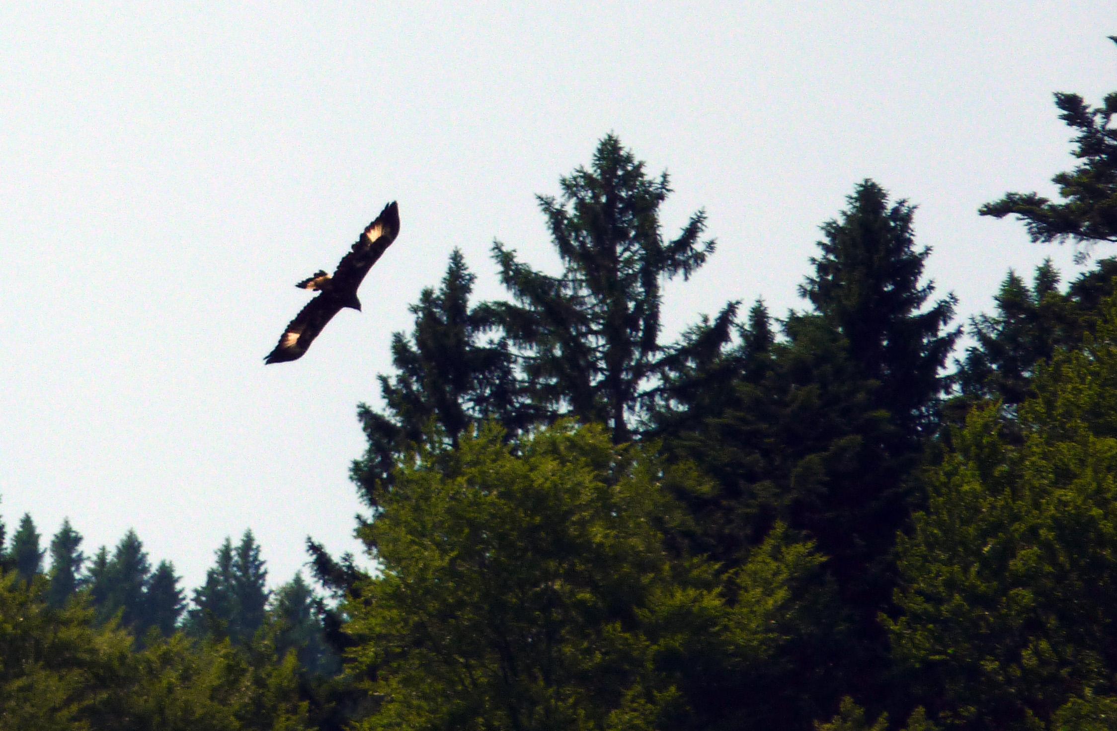Adler-auf-Alpe.jpg