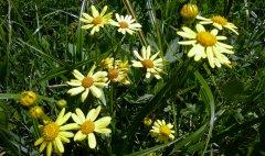 Alpe-Gschwenderberg-Blumen-4.jpg