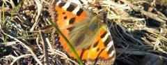 Alpe-Gschwenderberg-Schmetterling-2.jpg