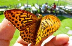 Alpe-Gschwenderberg-Schmetterling.jpg