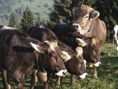 Alpe-Gschwenderberg-Viehabtrieb-3.jpg